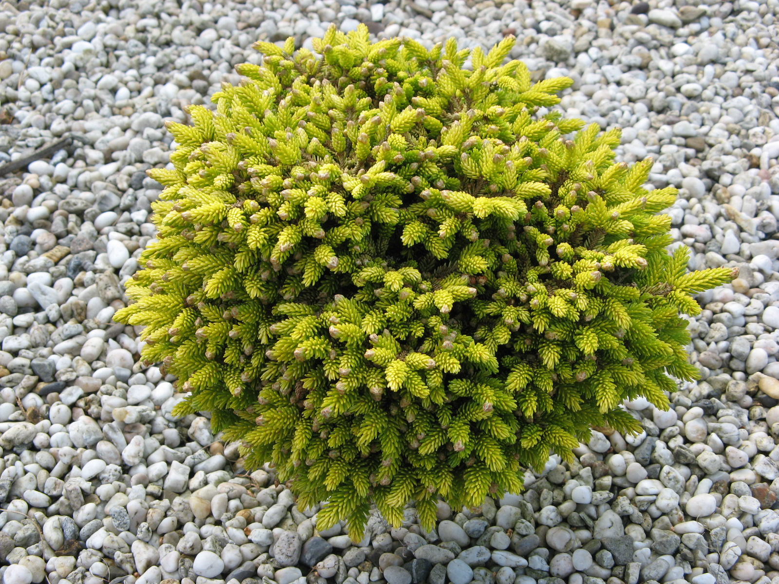 Picea orientalis Tom Thumb Gold.jpg