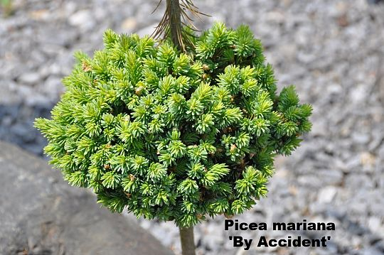 Picea mariana 'By Accident'.JPG