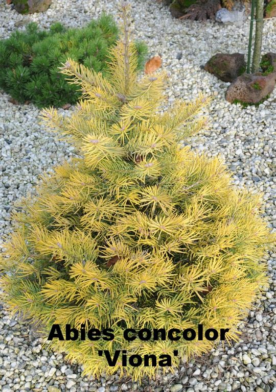 Abies concolor 'Viona'.JPG