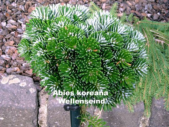 Abies koreana Wellenseind.jpg